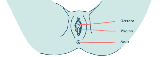 Proximity of the vagina, urethra and anus