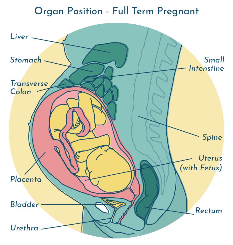 UTI during pregnancy - organ position