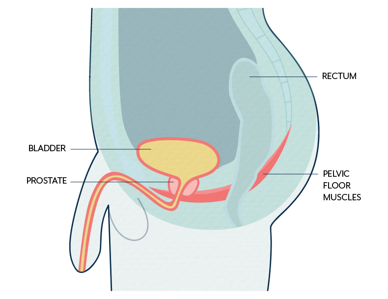 Male pelvic floor muscles and urinary incontinence