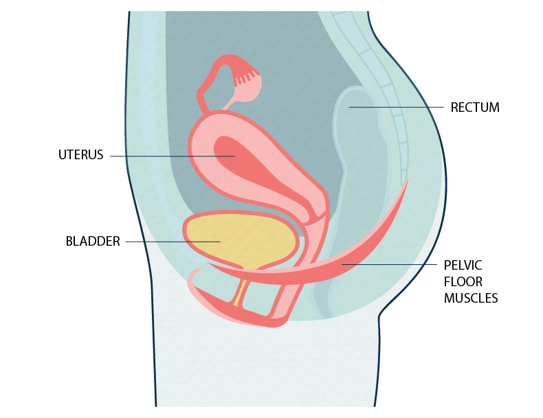 Female pelvic floor muscles - not pregnant